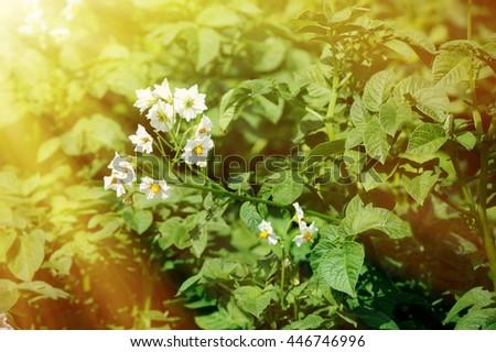 Gardening topic: bed with potato bush, potato leaves - stock photo