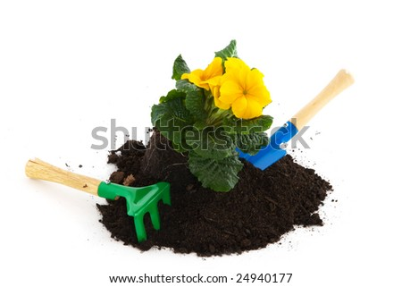 gardening with a yellow Primula and tools