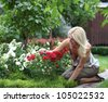 Gardening - woman cutting the rose bush in the garden - stock photo