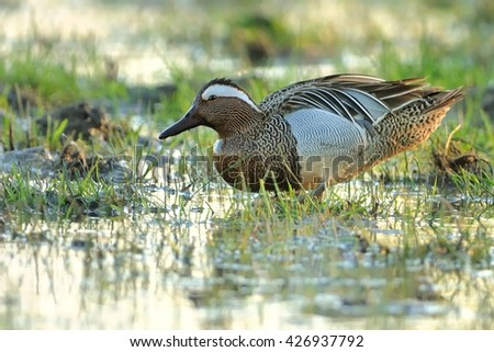 Garganey - Anas querquedula in the small water with green grass