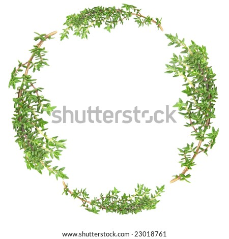 Garland of thyme herb leaf sprigs over white background. - stock photo