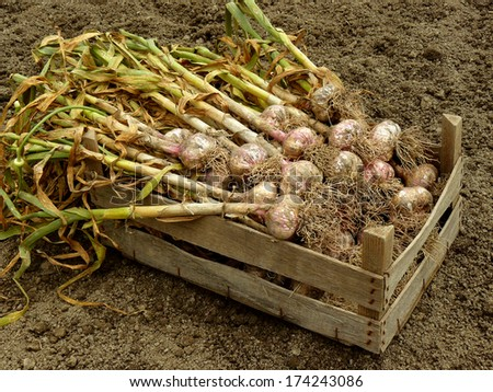 garlic harvest in wooden box - stock photo
