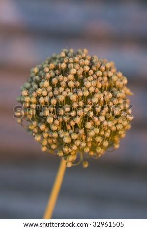 Garlic head showing seeds - stock photo