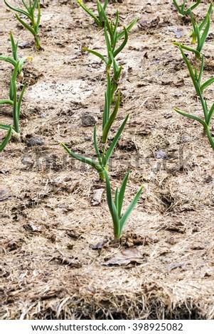 Garlic sprouting through the mulch  - stock photo