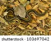 Garter Snake crawling along the forest floor. - stock photo