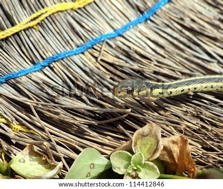 Garter snake crawling on an old broom. - stock photo