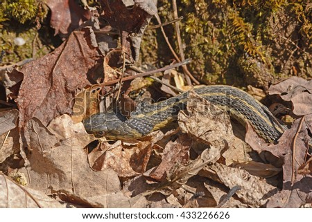 Garter Snake Hiding in the Leaves along the White Rocks Trail in Cumberland Gap National Park in Virginia - stock photo