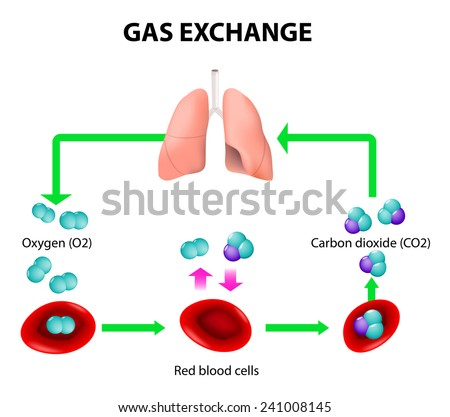 Gas exchange humans path red blood em ilustrao stock 241008145 gas exchange in humans path of red blood cells oxygen transport cycle both ccuart Gallery
