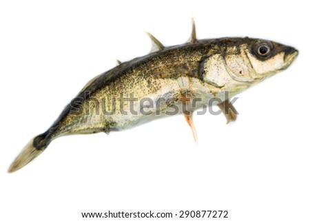 Gasterosteus aculeatus, Three-spined stickleback.  The photo was taken in the Kandalaksha Gulf of the White Sea. Russia, Murmansk region. Island Lodeinoe. - stock photo