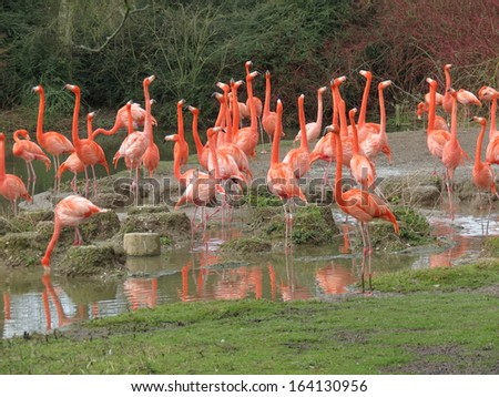 Gathering of Greater Flamingos
