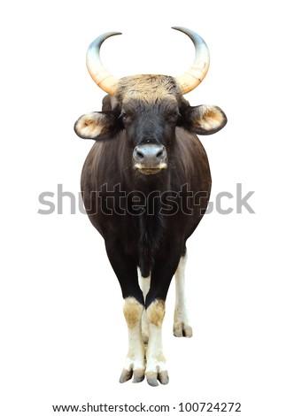 gaur in chiang mai night safari - stock photo