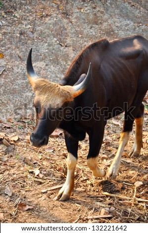 Gaur is a large bovine native to South Asia and Southeast Asia. - stock photo