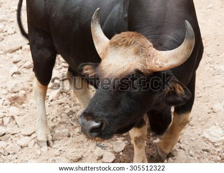 Gaur seladaing Bos gaurus in zoo thailand - stock photo