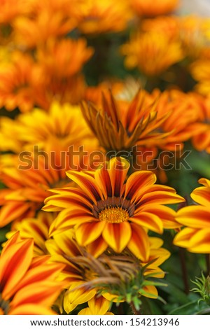 Gazania close-up on bed in summer city park. - stock photo