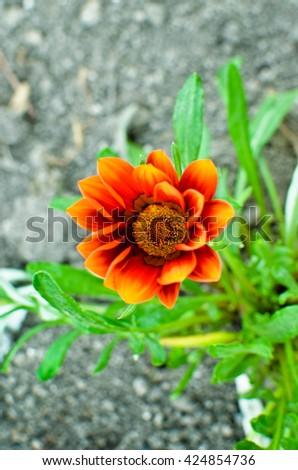 Gazania garden plant in flower. - stock photo