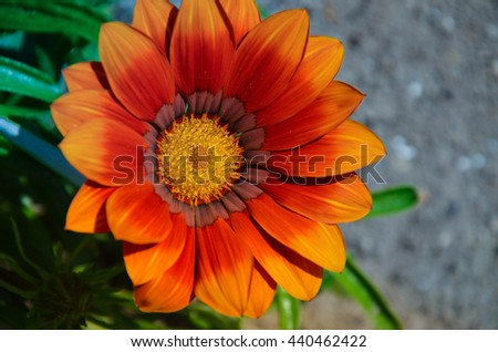 Gazania garden plant in flower.Bright yellow, orange and red - stock photo
