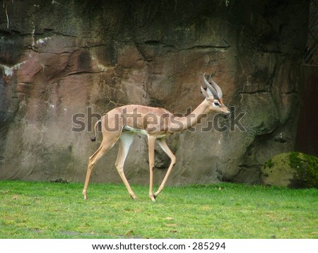 Gazelle - stock photo
