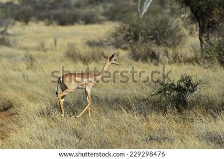 Gazelle Gerenuk African savannah wildlife habitat - stock photo