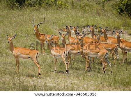 Gazelle in Masai Mara - stock photo