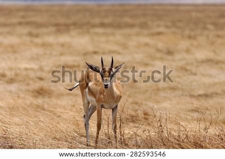 Gazelle in Ngorongoro Conservation Area, Tanzania - stock photo