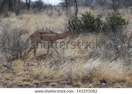 Gazelle in the grass - stock photo