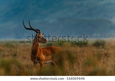 gazelle in the morning - stock photo