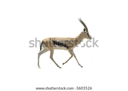 Gazelle isolated on white - stock photo