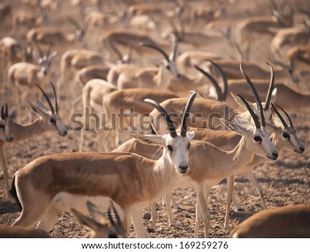 Gazelles. Arabian Wildlife in natural habitat. UAE - stock photo