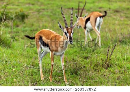 gazelles in Masai Mara National Park, Kenya,Thompson's Gazelle, gazelle, kenya, masai, mara, black, african, national - stock photo