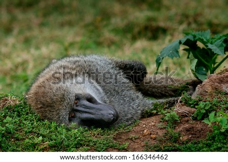 gazing baboon - stock photo