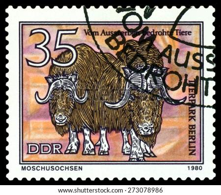 GDR - CIRCA 1980: A stamp printed in  GDR,  shows  Musk  oxen, series  Tierpark, Berlin, circa 1980 - stock photo