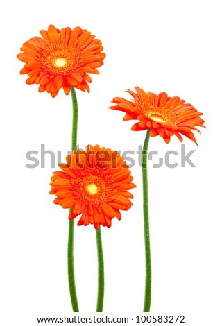 geberas (african daisy) isolated on white - stock photo