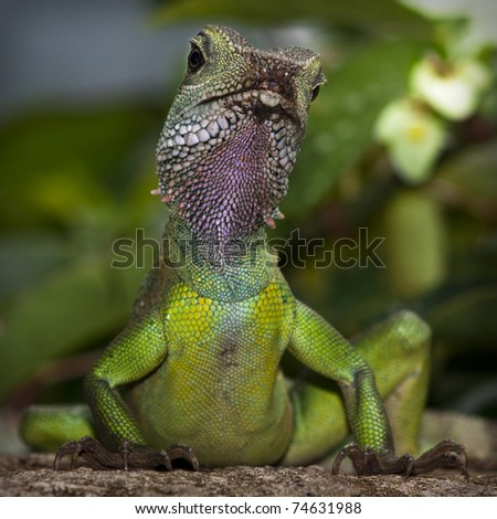 Gecko, Close-up of a green lizard from lower view point. - stock photo