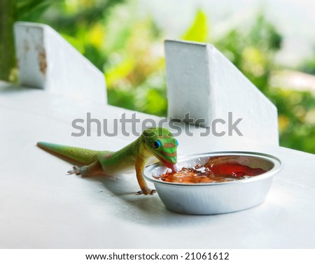 Gecko Eating Jam - stock photo