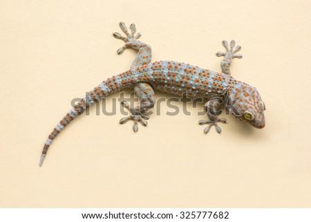 Gecko lizard climbing  wall background. - stock photo