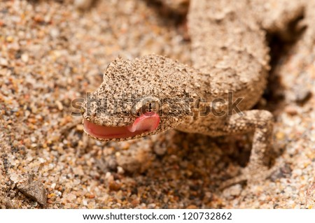 gecko lizard on sand - stock photo