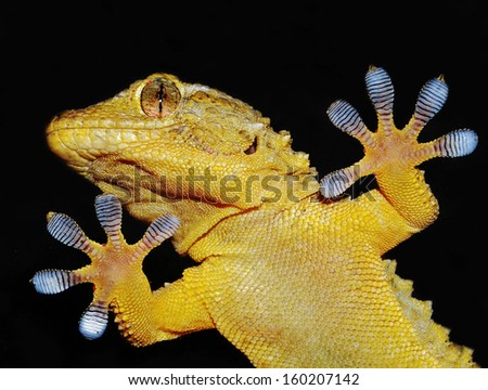 gecko lizard showing adhesive fingers - stock photo