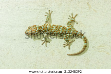 Gecko on the wall - stock photo