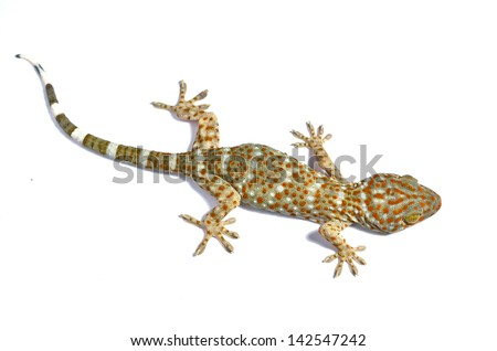 gecko on white background.