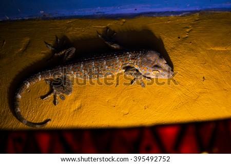 Gecko Tokay climbing a wall at night in Bali (Gekko gecko) - stock photo