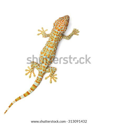 gecko (Xylotrupes Gideon) isolated on white background - stock photo