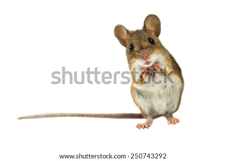 Geeky Wood mouse (Apodemus sylvaticus) with curious cute brown eyes looking in the camera on white background - stock photo