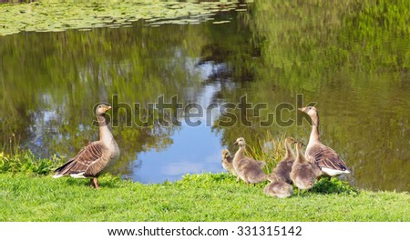 Geese and goslings enjoying springtime by their pond - stock photo