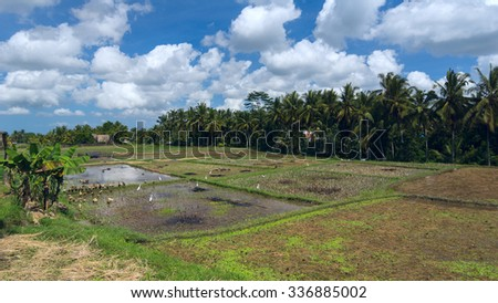 Geese and herons on rice field - stock photo
