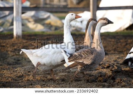 Geese ducks run across poultry yard a peaceful early summer night . Countryside scene with geese and ducks - stock photo