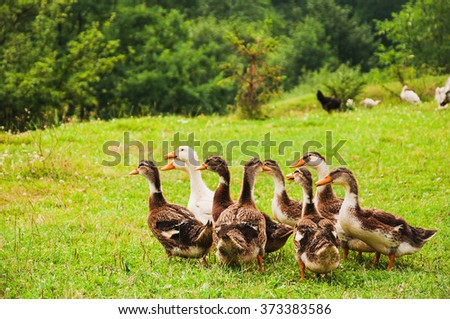 Geese family on the farm on the green grass - stock photo