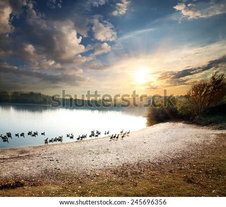 Geese floating in a rural lake at sunset - stock photo
