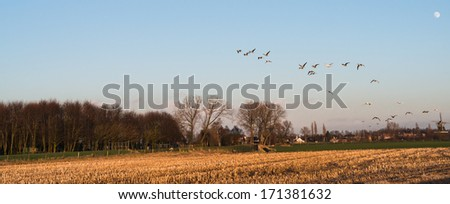 Geese flying away above a stubble field in the low sunlight of the late afternoon in winter. - stock photo