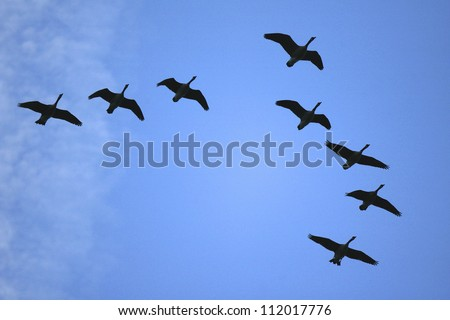 Geese flying in flock - stock photo
