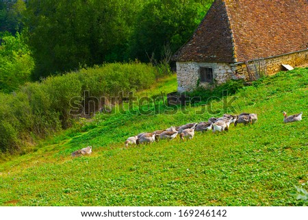 Geese Grazing on a Hillside in France - stock photo